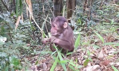 Trung tâm cứu hộ, bảo tồn và phát triển sinh vật Vườn quốc gia Bạch Mã tái thả hai cá thể khỉ mặt đỏ về môi trường tự nhiên