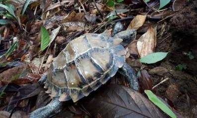 Trung tâm cứu hộ, bảo tồn và phát triển sinh vật Vườn quốc gia Bạch Mã tiếp nhận cá thể Rùa Núi viền  từ người dân và thả về rừng